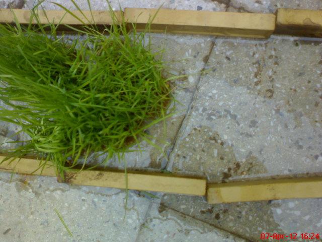 درست سبزه درختی آموزش سبز کردن سبزه برای عید نوروز ۱۳۹۲ بکـس ایـران